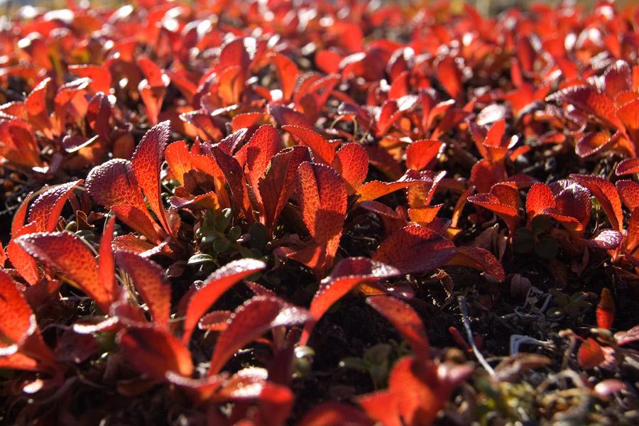 трава чукотка растения цветы