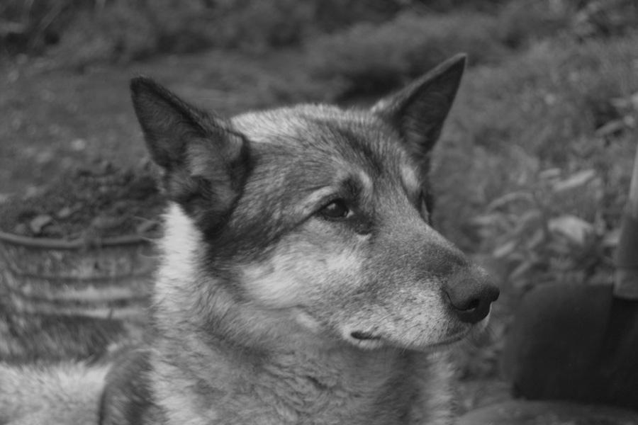 пес серый - старейший житель полуострова атарган
